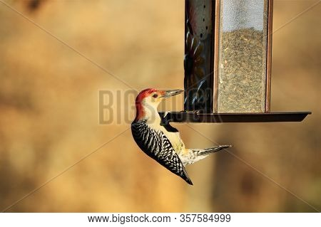 A Male Red-bellied Woodpecker Is Hanging Off Of A Bird Feeder, With A Sunflower Seed In Its Beak, On