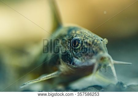 Small Catfish Corydoras Frontal Closeup With Blurred Background. Selective Focus.