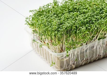 Fresh Micro Greens. Microgreens Growing Indoor