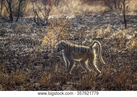 Chacma Baboon In Burn Savannah Scenery In Kruger National Park, South Africa ; Specie Papio Ursinus