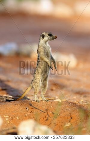 The Meerkat Or Suricate (suricata Suricatta) Patrolling Near The Hole. Meerkat Standing In The Morni