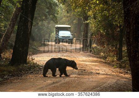 Close Up,wild Sloth Bear, Melursus Ursinus, Crossing The Road In Wilpattu National Park, Sri Lanka,