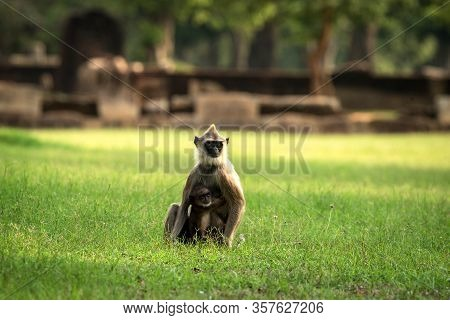 Gray Langurs, Sacred Langurs, Indian Langurs Or Hanuman Langurs In Sacred City Anuradhapura, Monkey