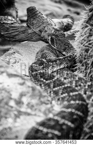 Wild Rattlesnake, Detail Of Poisonous Animal, Nature