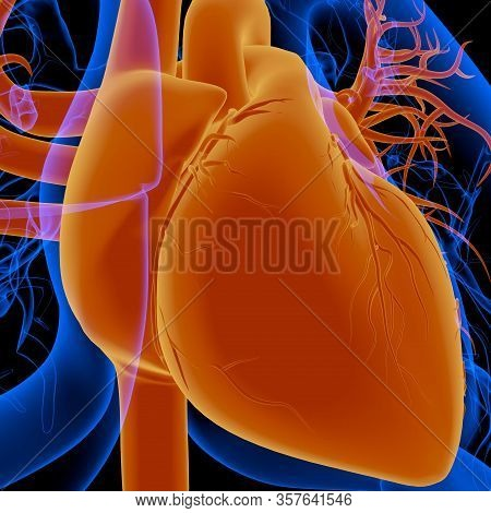 The Human Heart Is An Organ That Pumps Blood Throughout The Body Via The Circulatory System
