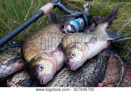 Successful Fishing -  Two Freshwater Bream Fish And Fishing Rod With Reel On Keepnet With Fishery Ca