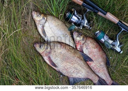 Successful Fishing -  Pile Of Big Freshwater Bream Fish And Fishing Rod With Reel On Natural Backgro
