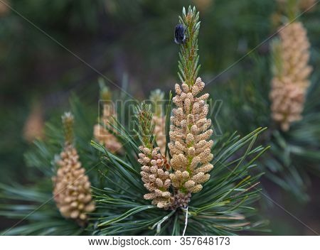 Flowering Pine Tree. Branch Of Scots Pine With Yellow Pollen, Producing Male Cones On Blurred Backgr