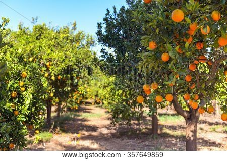 Orange Tree With Fruits, Beautigul Drove Of Orange. Ripe Organic Oranges Hanging From An Orange Tree