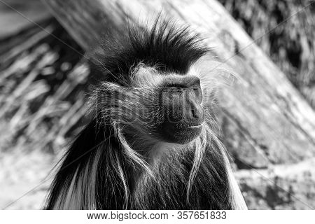 A Colubus Monkey Warms His Face In The Sun.