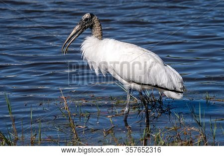 A Wood Stork Forages For Food In The Water.