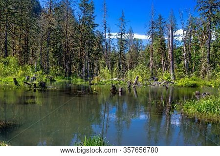 Spring Sunny Day In The Squamish River Valley, Spring Flood In The Coniferous Forest, High Water Lev