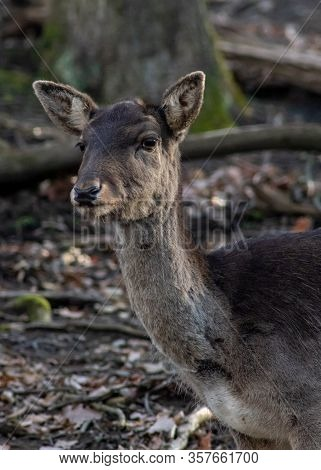Cute Deer In Forest Park Watching Me