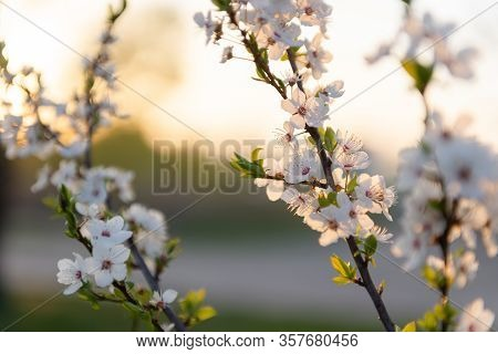 Flowering Branch Of Fruit Tree. Cherry Blossomed In The Spring.