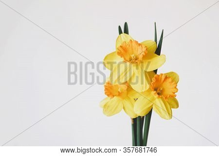 Beautiful Fresh Yellow Daffodil Flowers In Full Bloom On White Background.