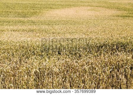 Agricultural Fields With Fresh Ripened Dry Cereals That Ripen To Harvest Grain, Eastern Europe