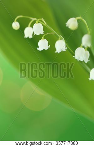 Lily Of The Valley Flower With Green Leaves On A Light Green Background. Soft Blurry Focus.floral Te