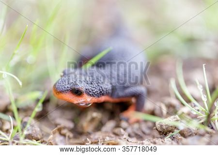 Selective Focus Of California Newt, Juvenile. Monte Bello Open Space Preserve, Santa Clara County, C