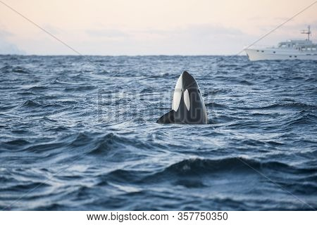 Orca Killer Whale Spy Hop In Arctic Sea With Boat