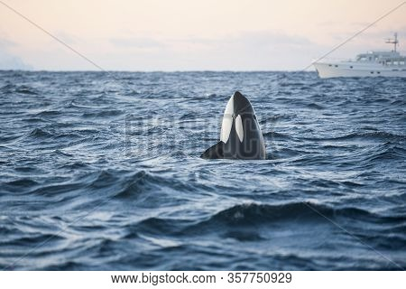 Orca Killer Whale Spy Hop In Arctic With Boat