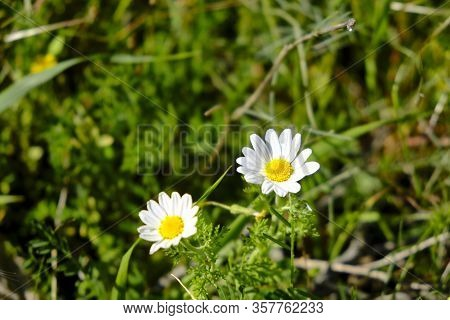 Leucanthemum Vulgare, Commonly Known As The Ox-eye Daisy, Or Dog Daisy