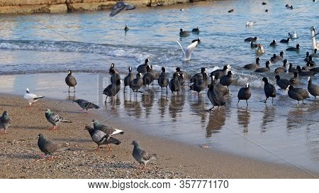 Ducks With Black Feathers And White Swans Swim On The Coast Of Feodosia On A Winter Clear Day