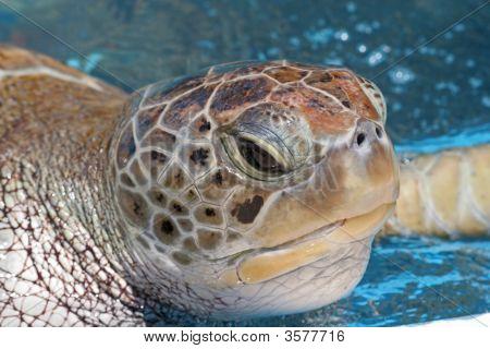 Sea Turtle (Eretmochelys Imbricata) Close Up/Macro