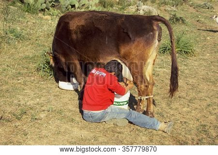 SICILY OUTBACK, ITALY - MARCH 21, 2008:  young boy sitting and milking a cow in the outback of sicilian countryside