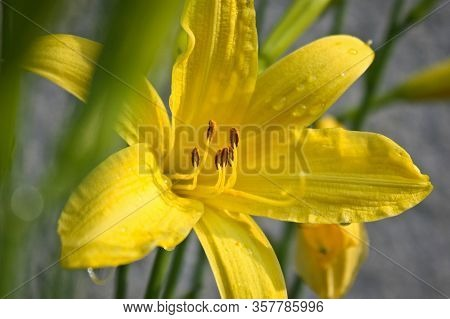Yellow Lily As Spring Time Sign In Garden
