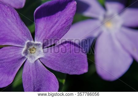 Bloom Of Pastel Purple Periwinkle In Spring Time Nature