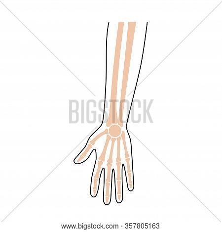 Human Forearm Anatomy. Wrist And Hand Bones. Vector Illustration Isolated On White Background. Skele