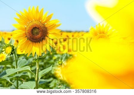 Sunflower Natural Background. Beautiful Landscape With Yellow Sunflowers Against The Blue Sky. Sunfl