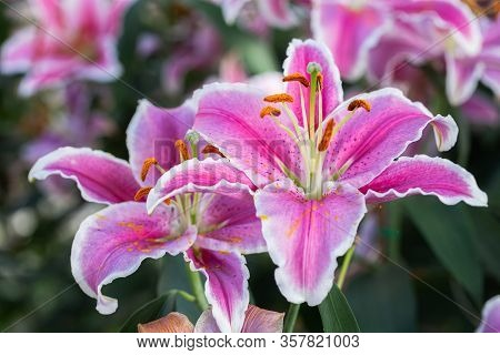 Colorful Lily Flower. Beautiful Lily Flower In Lily Flower Garden. Lily Lilium Hybrids Flower. Lily