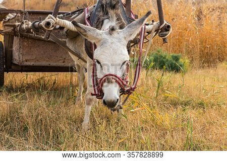 Donkey Eats Dry Grass In The Pasture, Donkey Head.