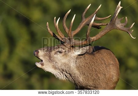 Close-up Of An Injured Red Deer Stag Calling During Rutting Season In Autumn, Uk.