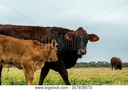 Beef Cattle Livestock. Cow And Calf Together In A Pasture With Other Animals.