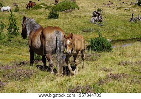 Foal And Horse On Meadow In Mountain Valley In Pyrenees Near Coma Pedrosa Peak. Andorra