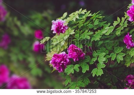 Peony Flowers Background. Blooming Peony Shrubs. Bright Flowers Of Peonies. Summer Floral Background