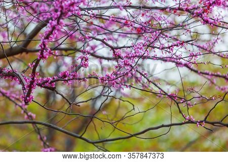 Spring soft floral background. Panoramic spring view. Purple flowers of Cercis canadensis close-up. Delicate floral background. Pink flowers on a blurry green background.