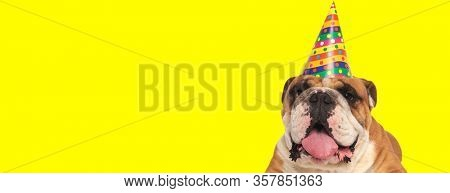 close up of a cute english bulldog dog wearing birthday hat and sticking out tongue happy on yellow studio background