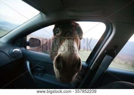 Donkey With Big Ears And A Cute Face Looking In The Window Of The Car, A Close-up Portrait.portrait