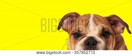 close up of a sweet english bulldog dog with brown fur hiding and looking at camera happy on yellow studio background