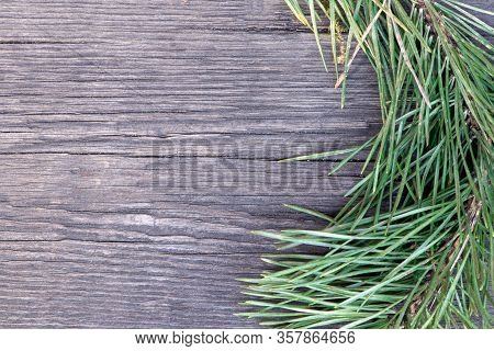 Twig Of Young Pine On A Wooden Background. Christmas Tree. Pine Branch In Early Spring. Branch And T