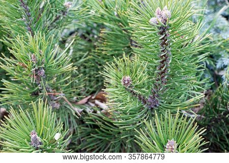 Twig Of Young Pine.pine Branch In Early Spring. Branch And Twigs Of Cluster Pine. Sprig Of Pine In T