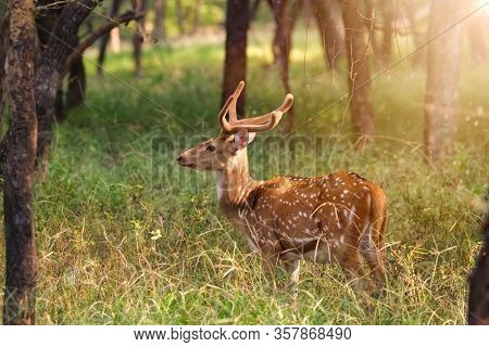 Beautiful young male chital or spotted deer grazing in grass in Ranthambore National Park, Rajasthan, India
