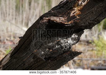 Close Up Of A Tree Trunk That Was Severely Damaged During A Forest Fire.