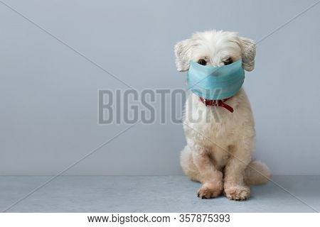 Small white pet dog wearing a surgical face mask