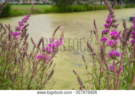 Pink Flowers In The Field. Lythrum Salicaria (purple Loosestrife, Spiked Loosestrife, Purple Lythrum