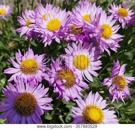 A Beautiful Grouping Of Mountain Purple Daisies Growing In The High Elevations Of Montanas Rocky Mou