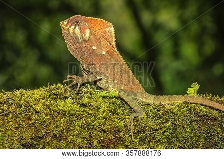 Male Smooth Helmeted Iguana (corytophanes Cristatus) Sitting On A Log, Costa Rica